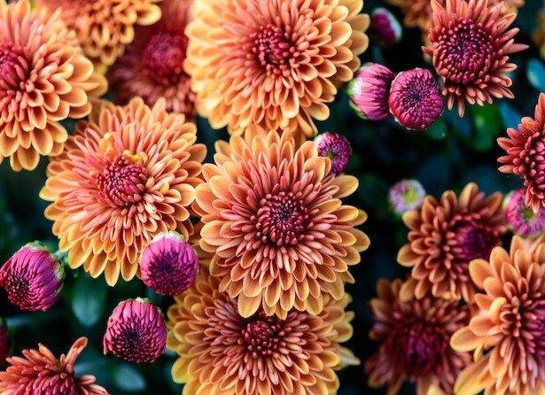 """Chrysanthème, """"la fleur d'automne"""""""